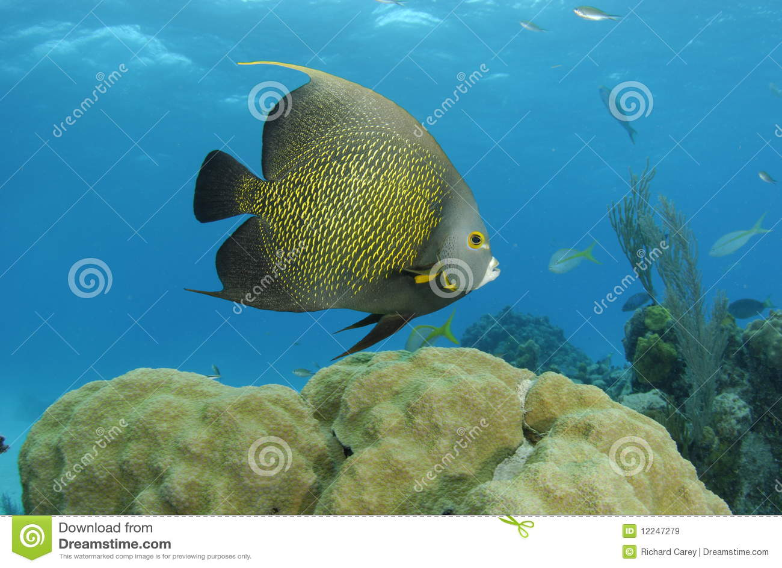 Angelfish francés