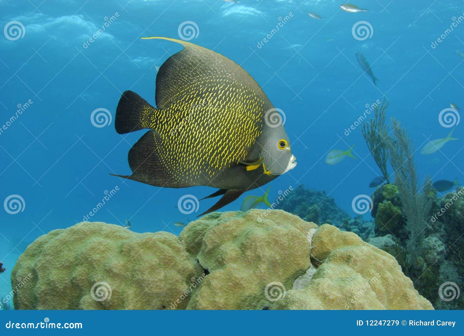 Angelfish francese
