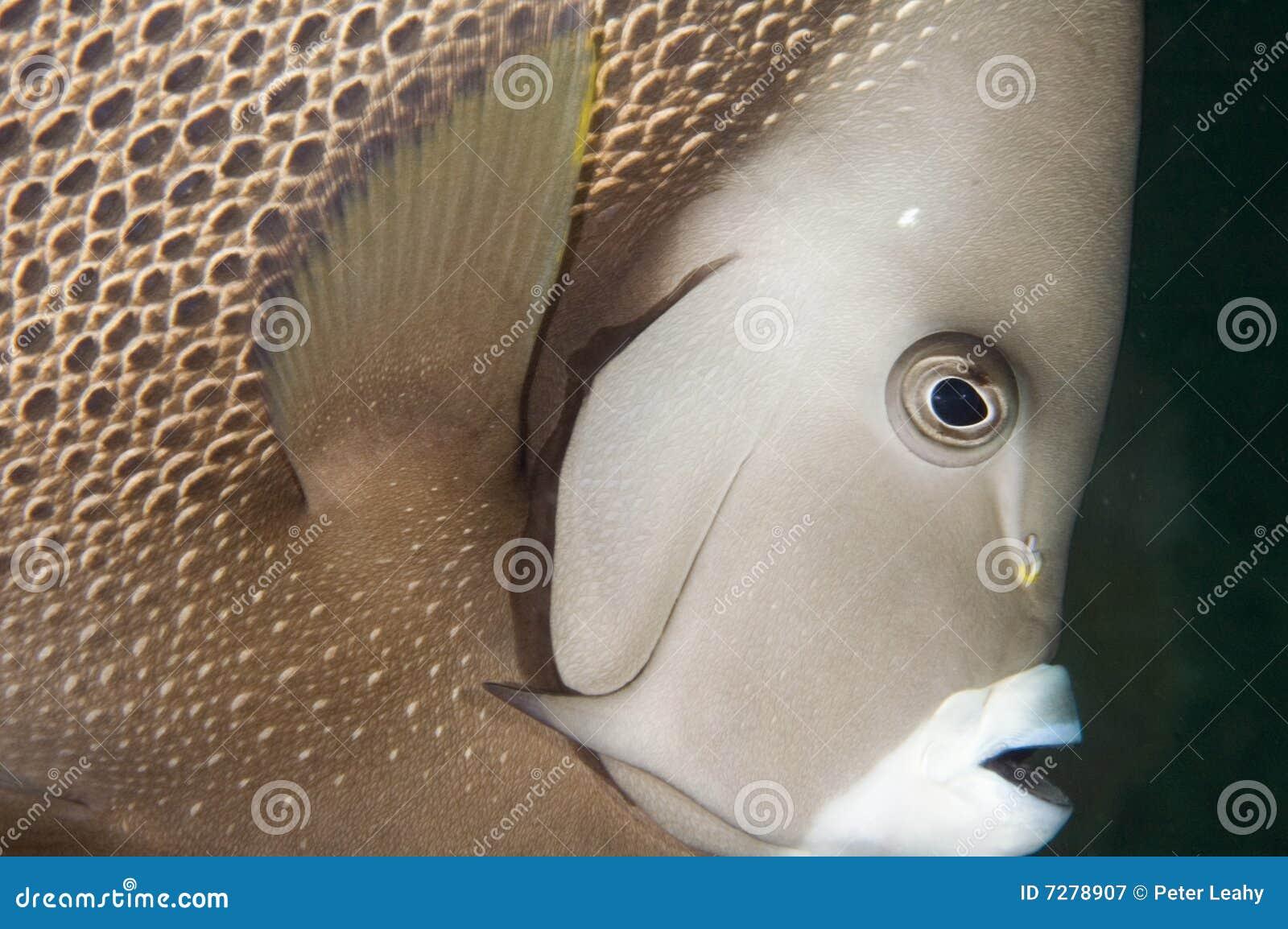 Angelfish gris