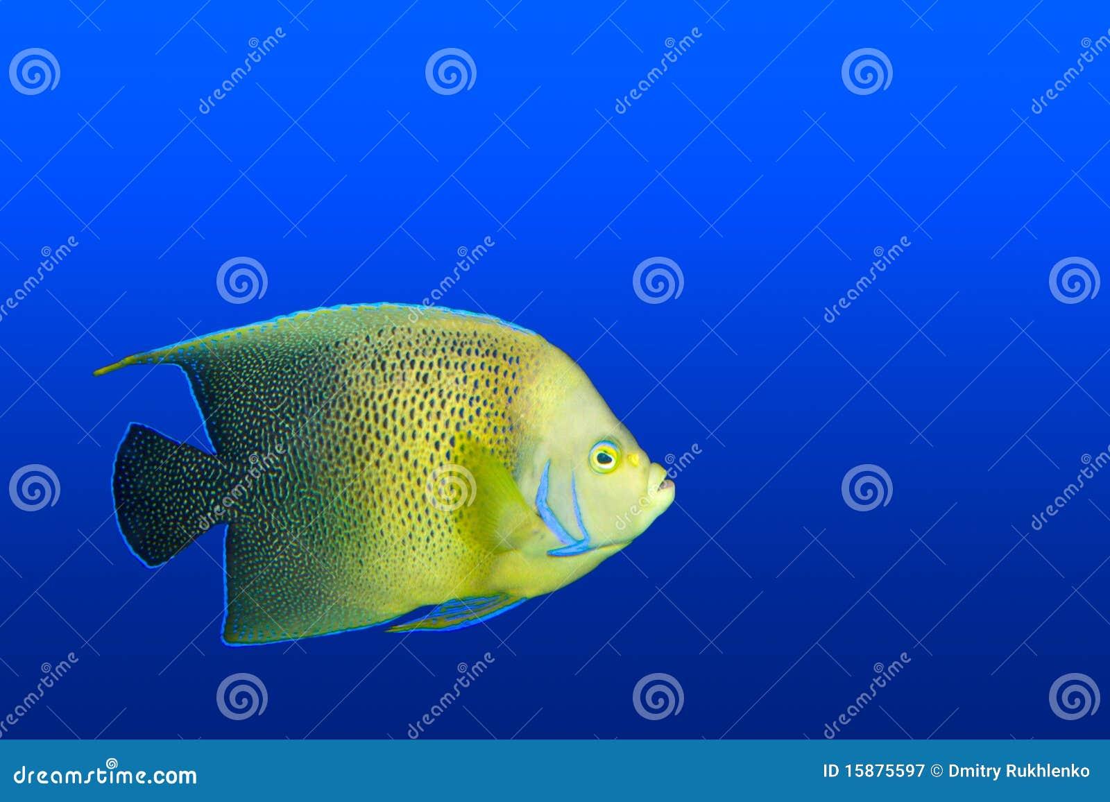Angelfish im Aquarium getrennt