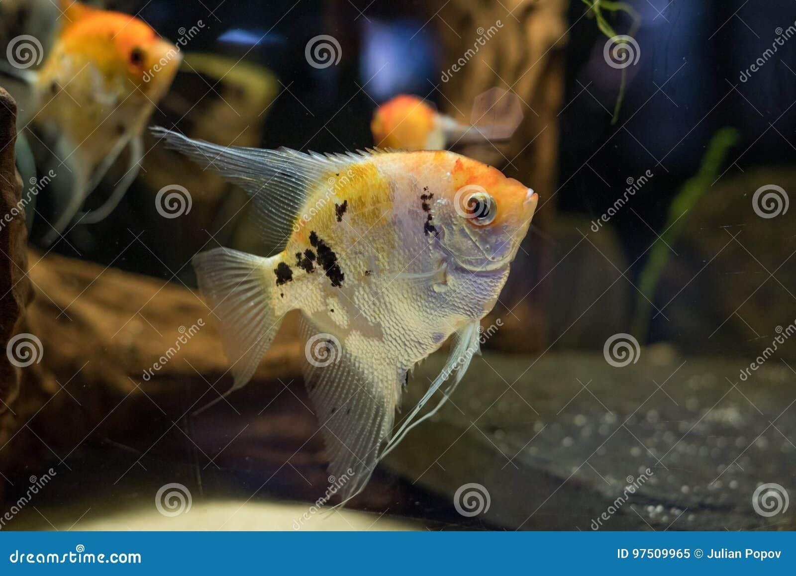 Angelfish Scalare Small Aquarium Fish Swimming In The Aquarium Stock