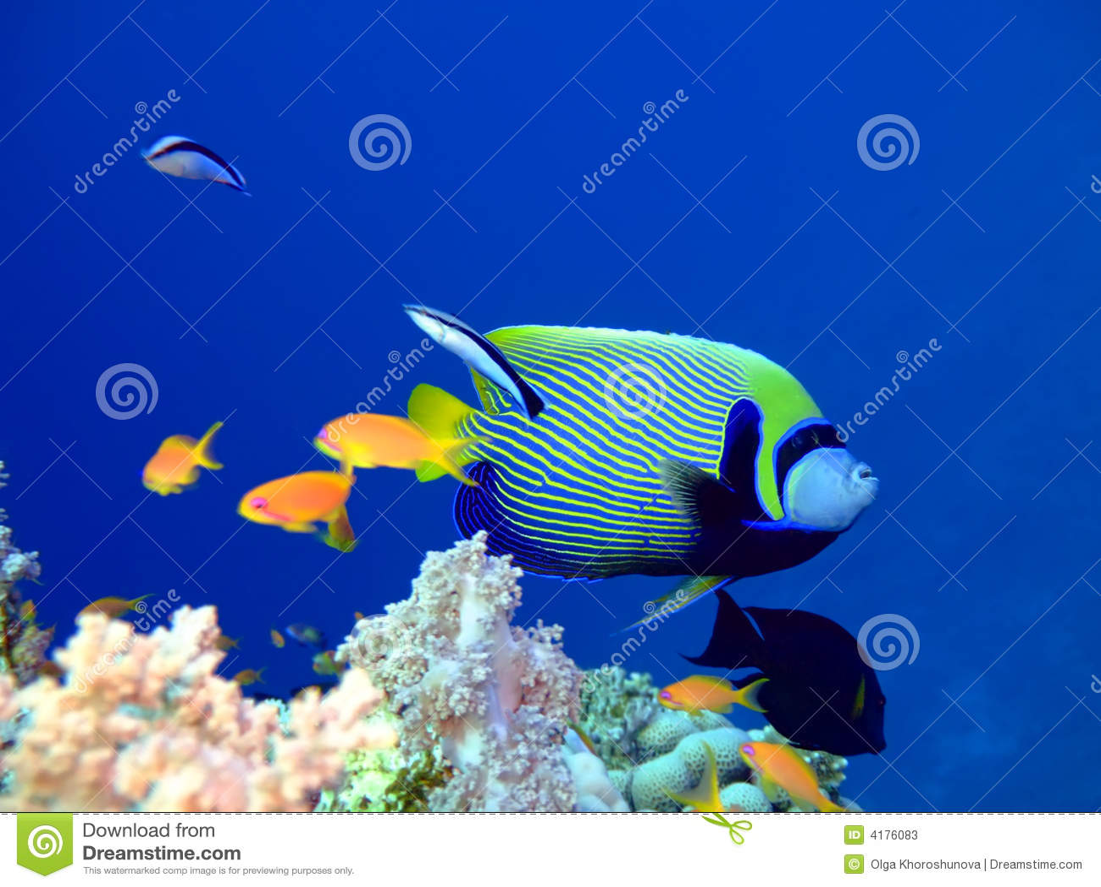 Angelfish tropikalne ryby