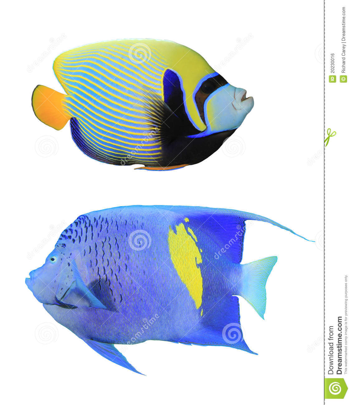 Angelfishes royalty free stock image image 20230016 for Fish compatible with angelfish