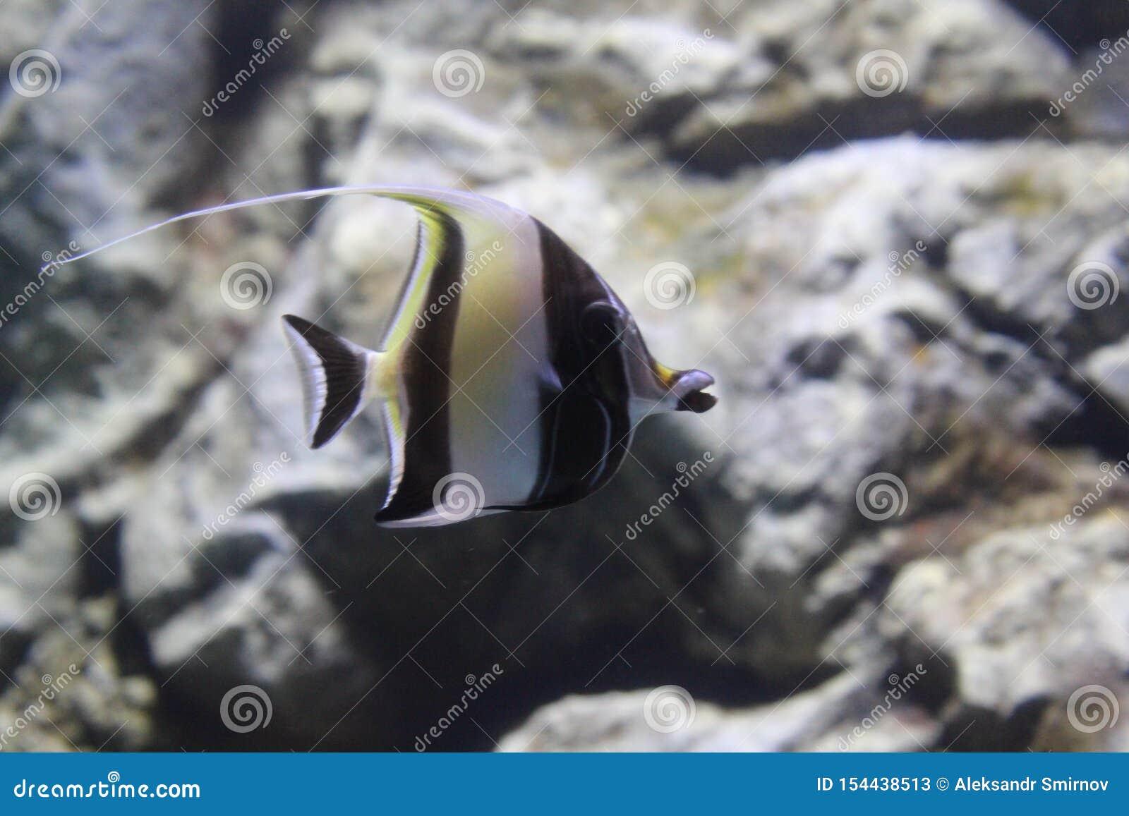 Angelote rayado de los pescados en el agua clara del acuario