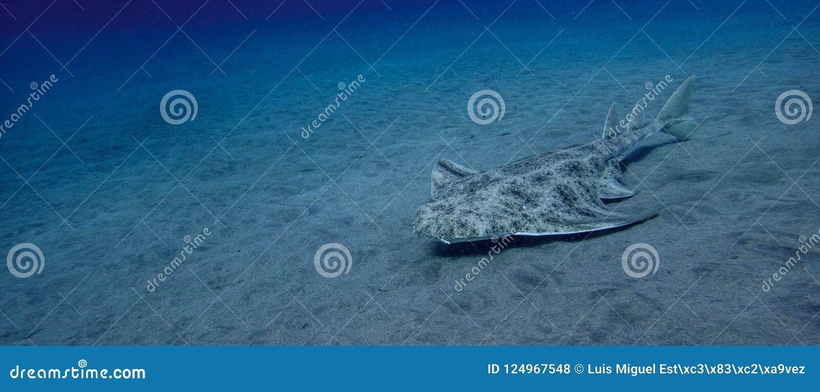 Angelshark över sand i det blåa havet