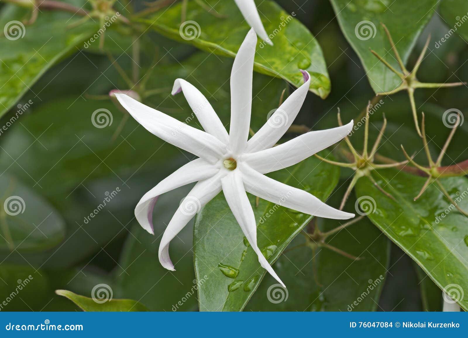 Angelwing Jasmine Flower Stock Photo Image Of Landscape 76047084