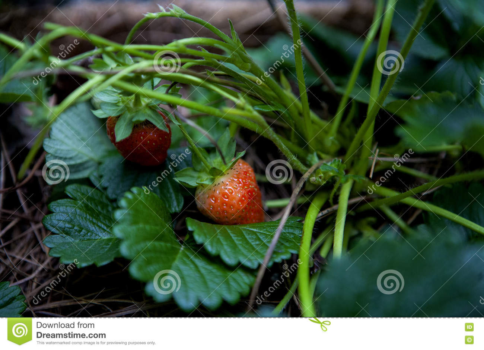 Angeschmiegte Erdbeeren