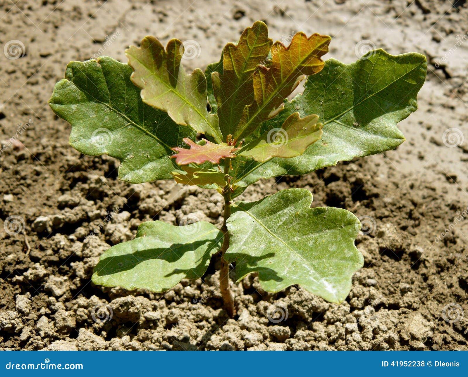 Angielski dębowego drzewa sapling
