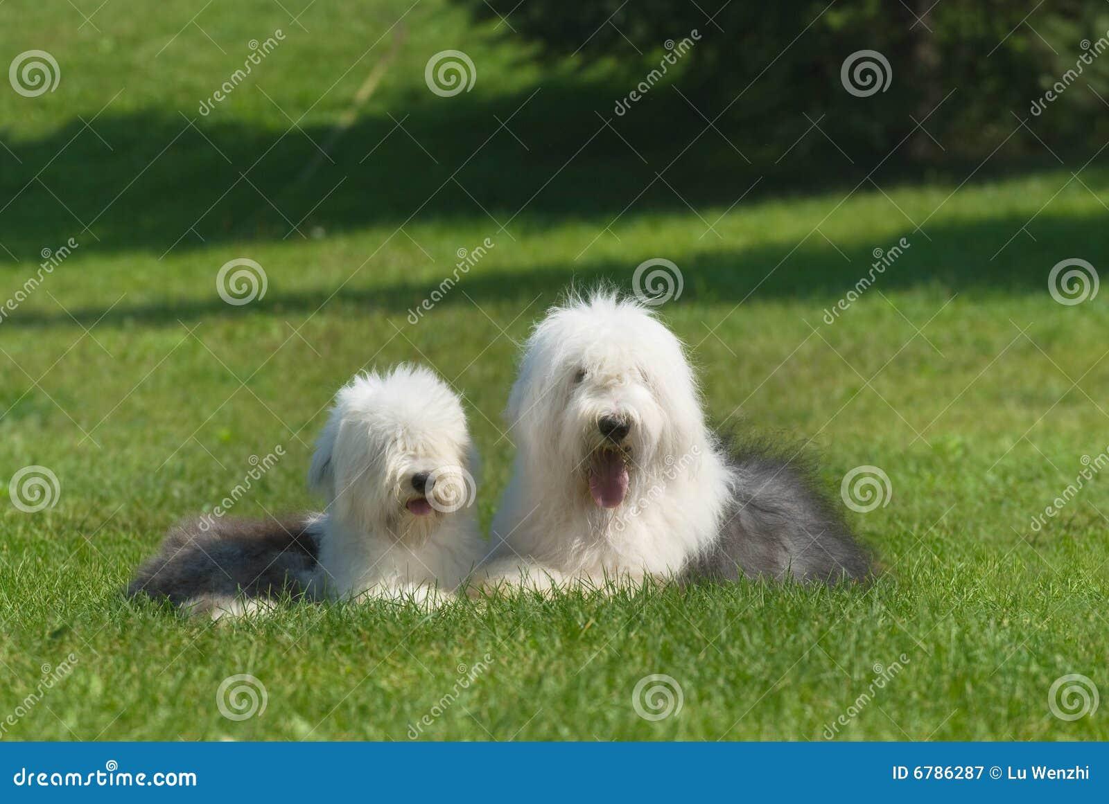 Angielski stary sheepdog