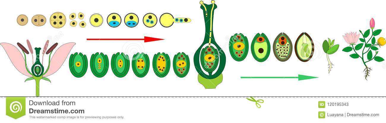 Angiosperm Plant Life Cycle Diagram Of Life Cycle Of Flowering