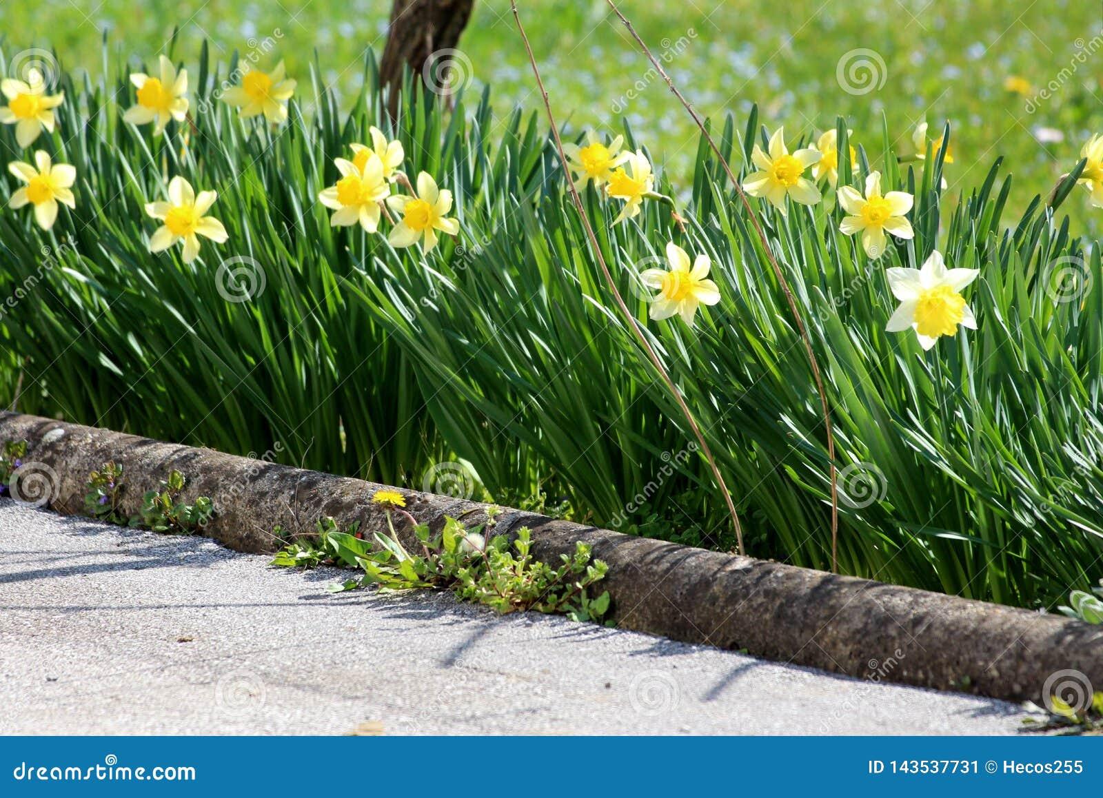 Fiori Gialli Simili Al Narciso.Angiosperme Bulbiferous Erbacee Perenni Dei Geophytes Del Narciso