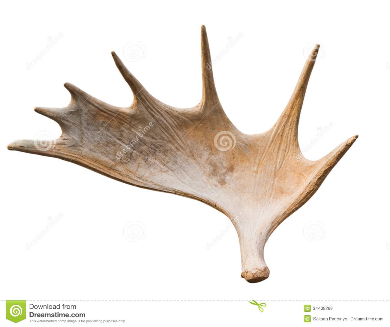 An angled view of a whitetail deer antler