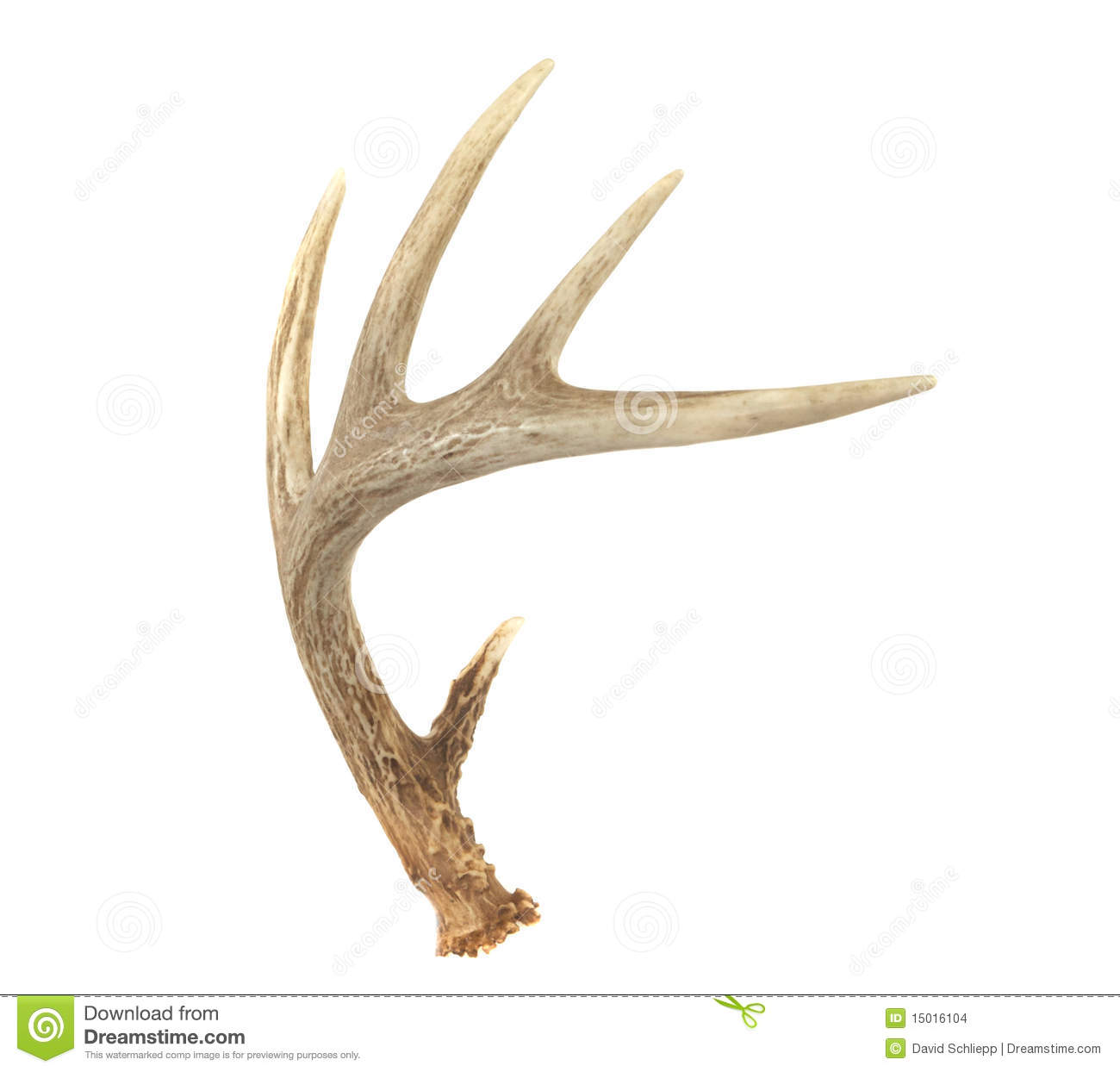 More similar stock images of ` Angled Whitetail Deer Antler `