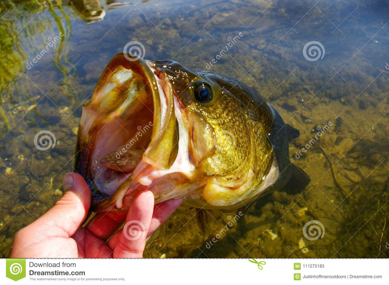Large Mouth Bass Lipped After Being Caught Fishing