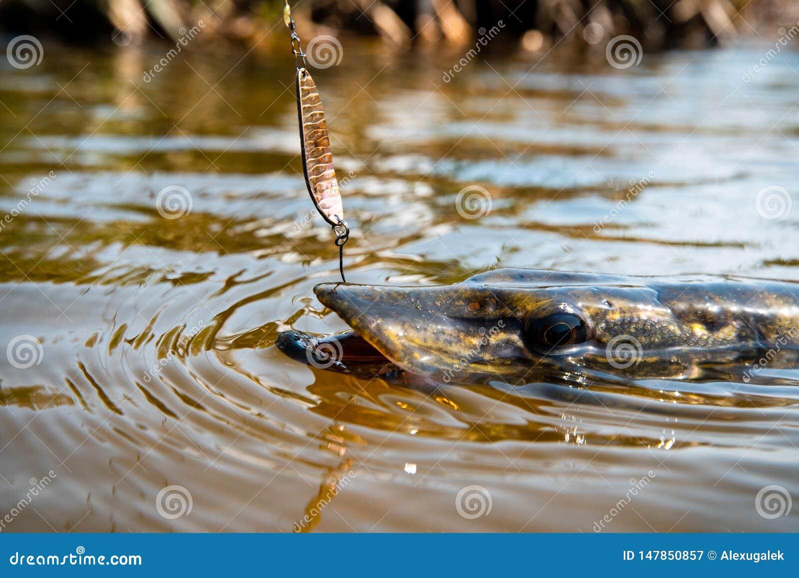 Angling predator fish