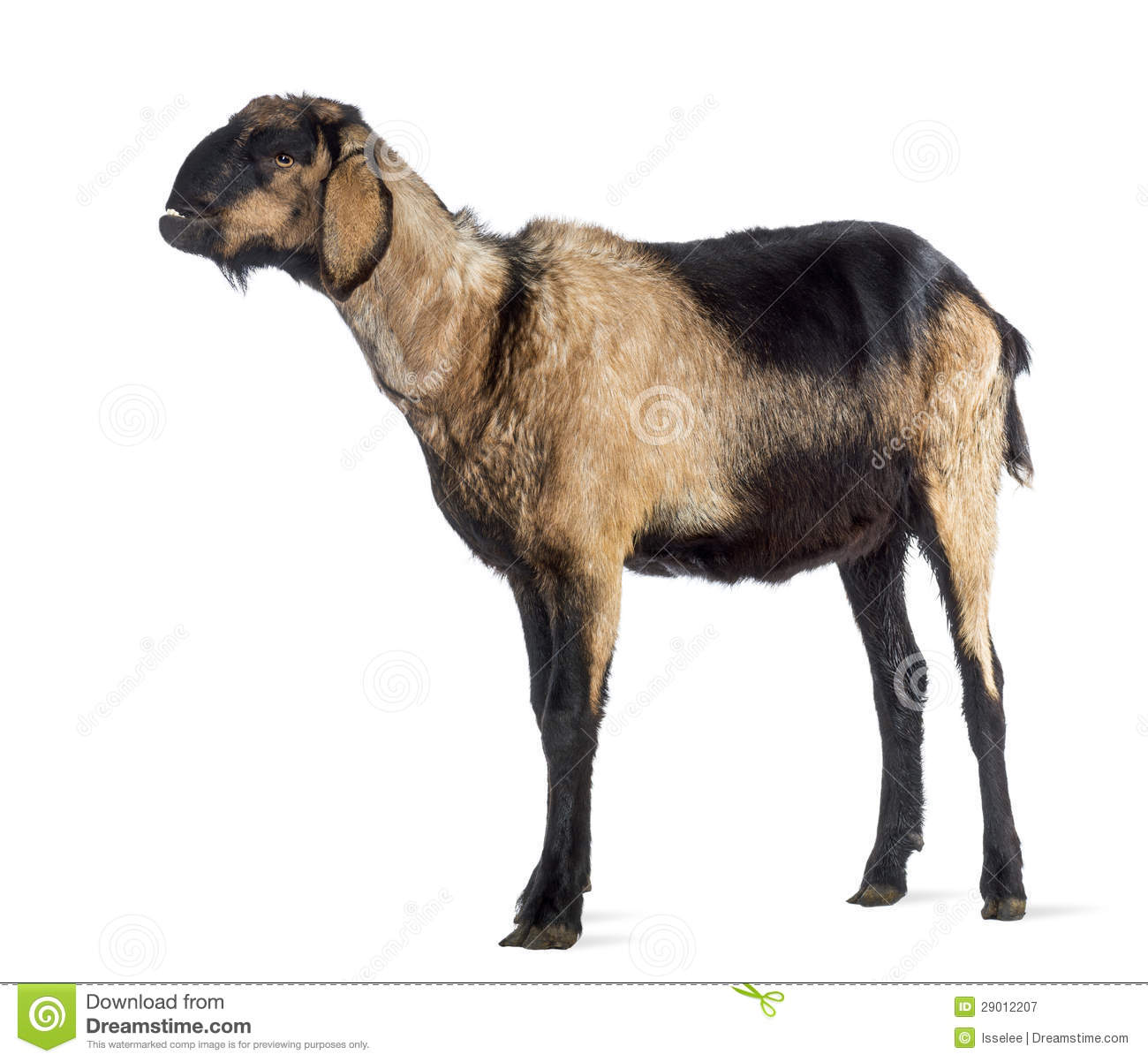 Anglo-Nubian goat with a distorted jaw, looking up