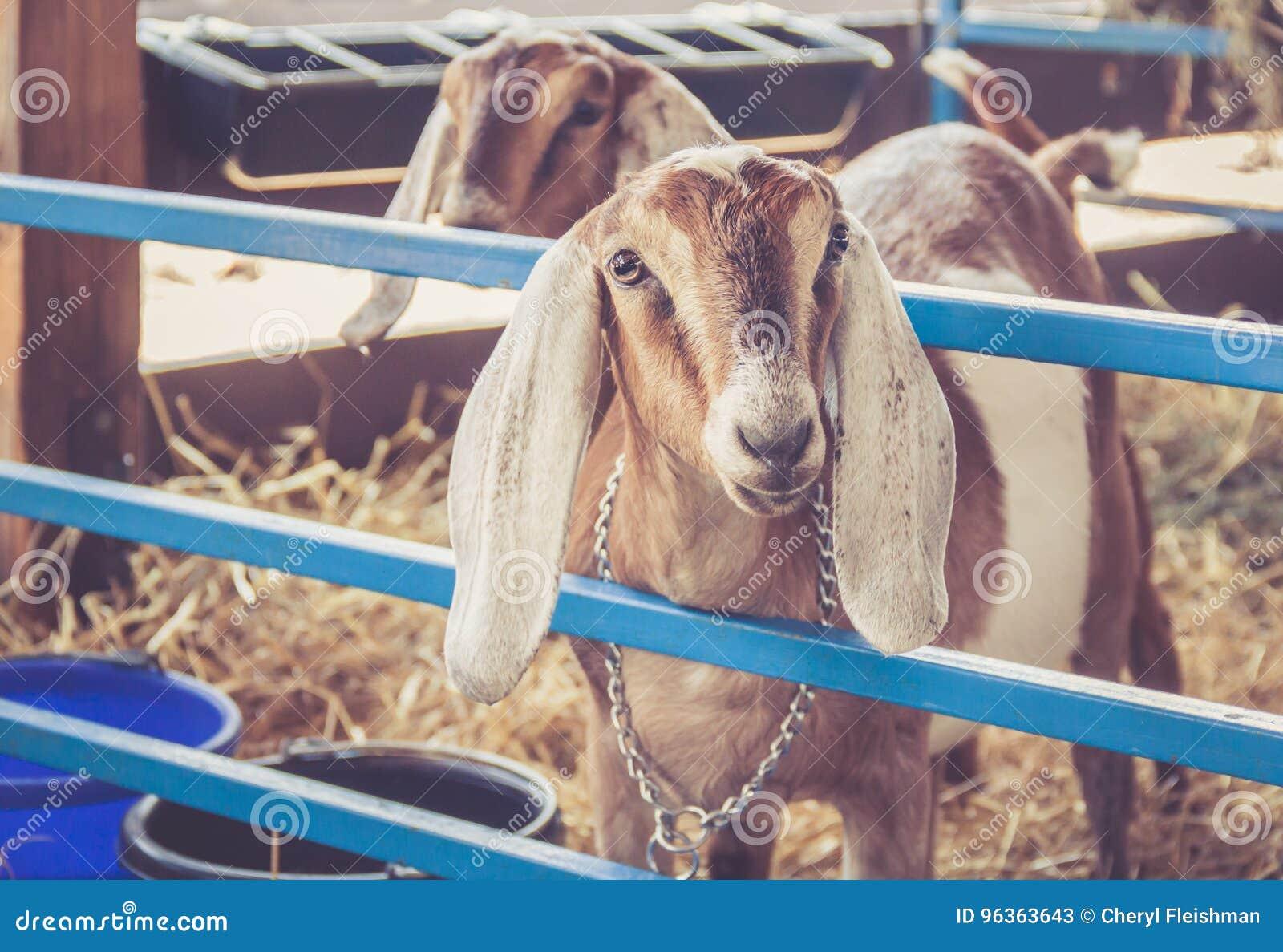 Anglo-Nubian podar cabras earred & x28; Cabra Aegagrus Hircus& x29; na exposição em sua pena na feira de condado