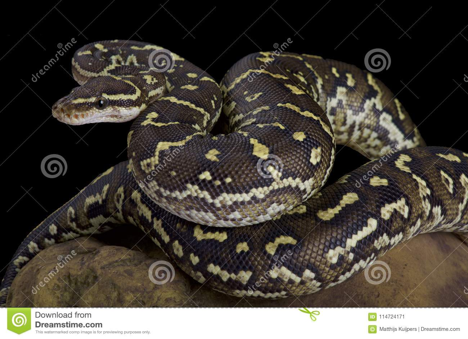 Angola-Pythonschlange, Pythonschlange anchietae