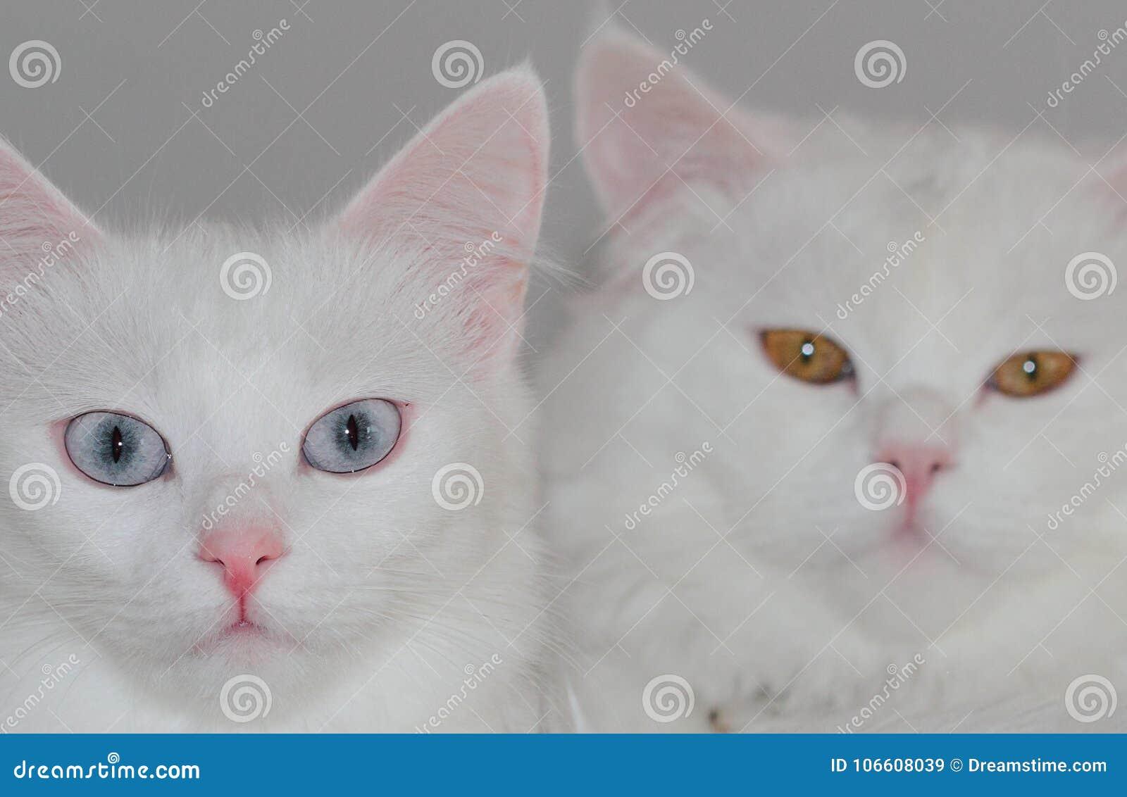 Angora Cats Pair Stock Image Image Of Cats Kitty Turkey 106608039