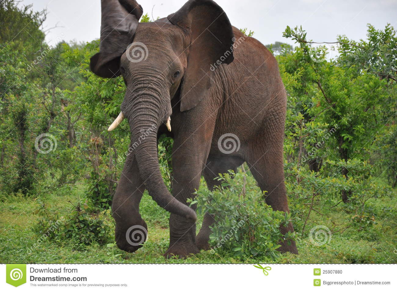 An angry aggressive African elephant in the wild charges danger ...
