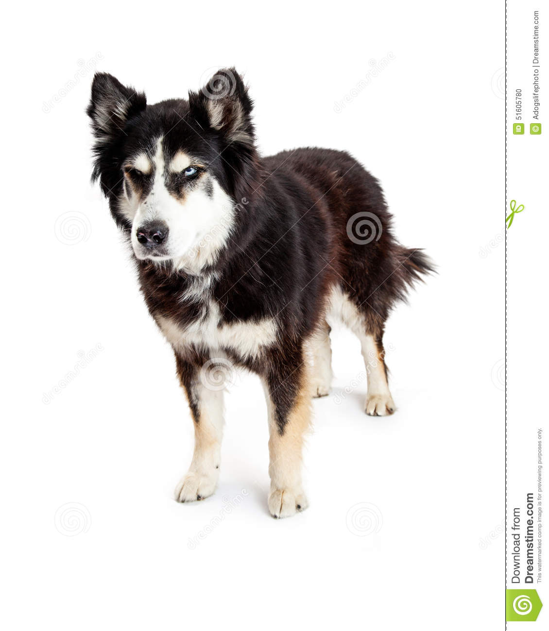 large Alaskan Malamute mixed breed dog standing with an angry scowl ...
