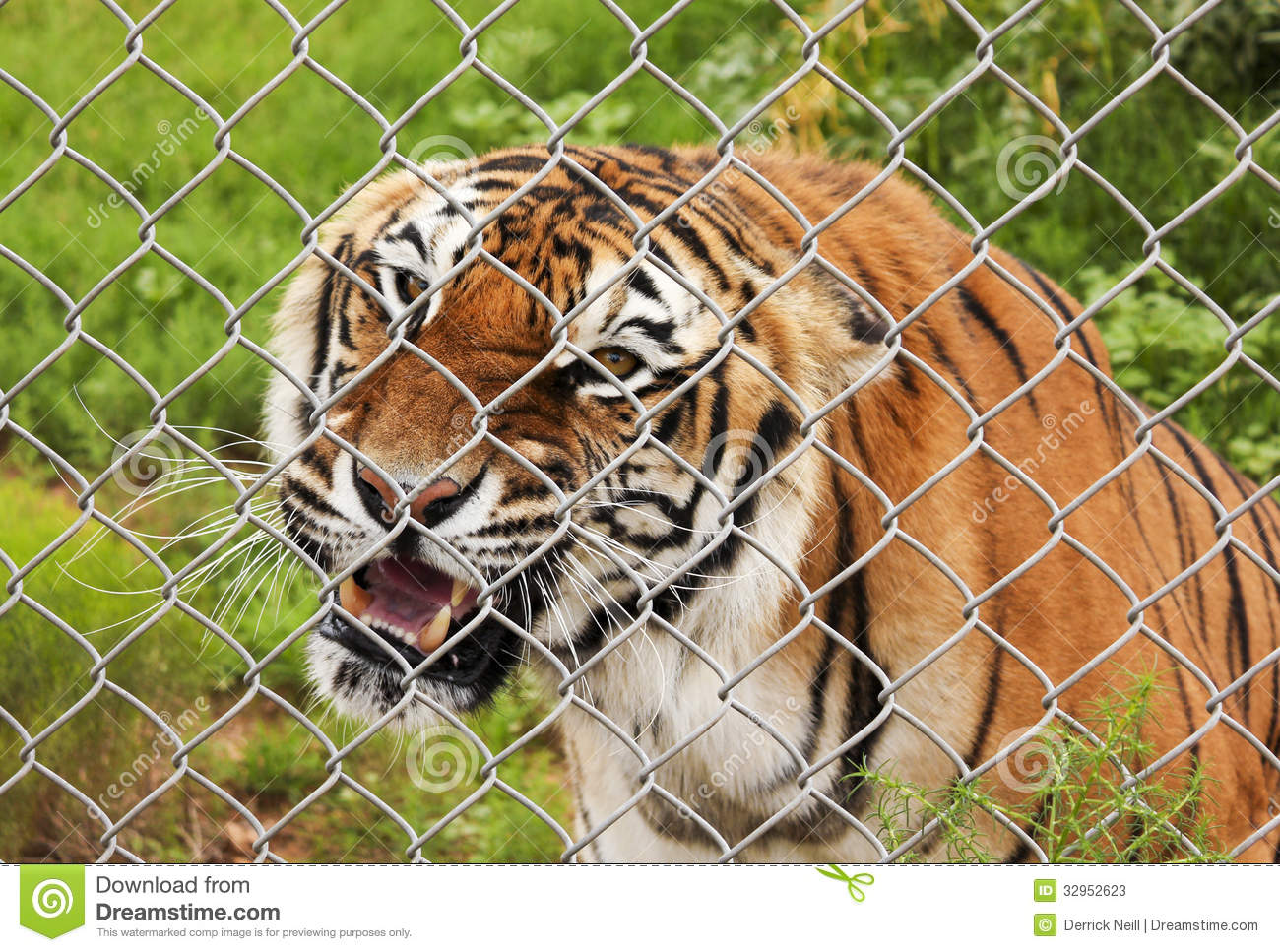 An Angry Bengal Tiger In A Zoo Cage Stock Photos - Image: 32952623