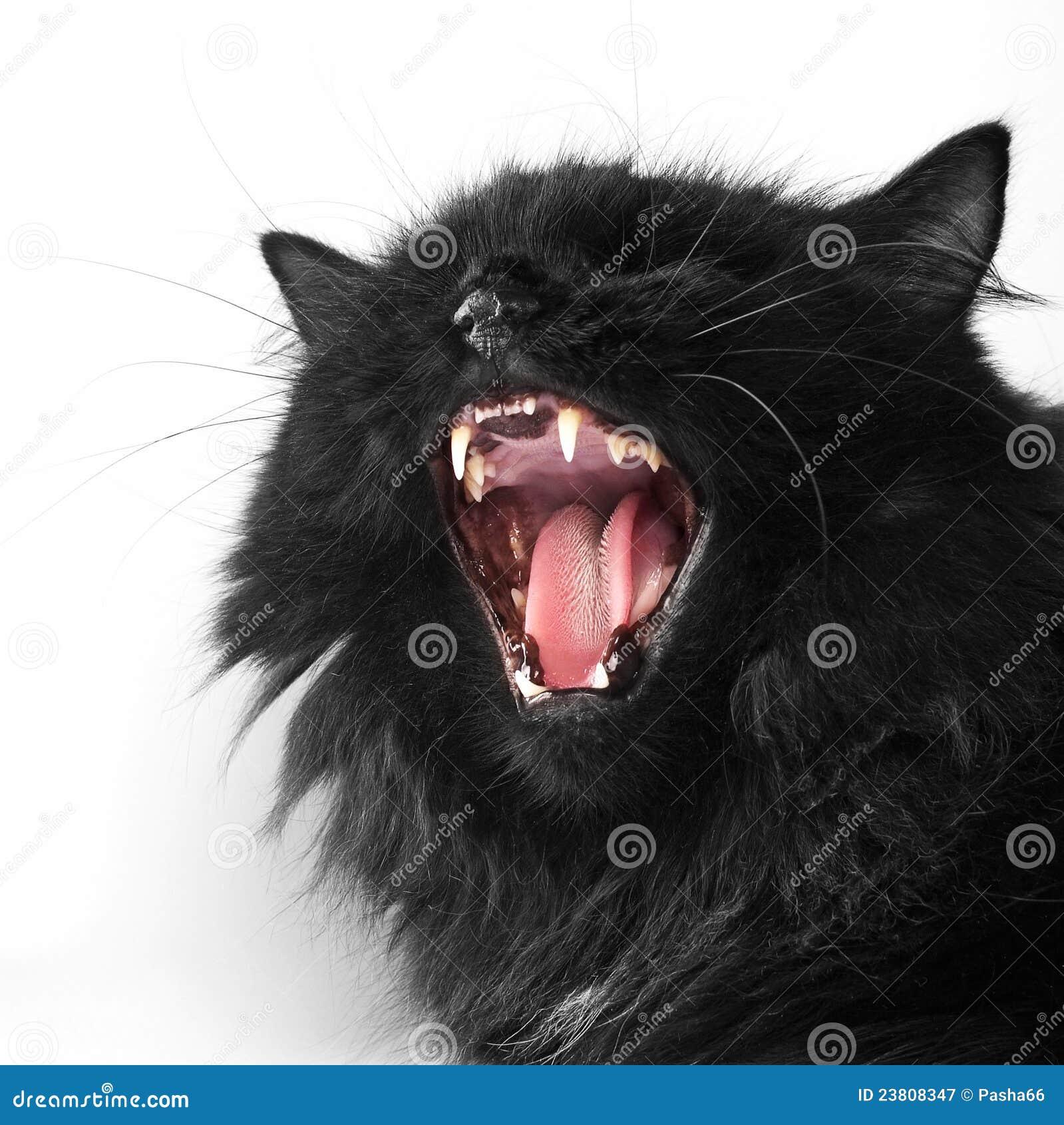 Angry black persian cat stock image. Image of teeth ...