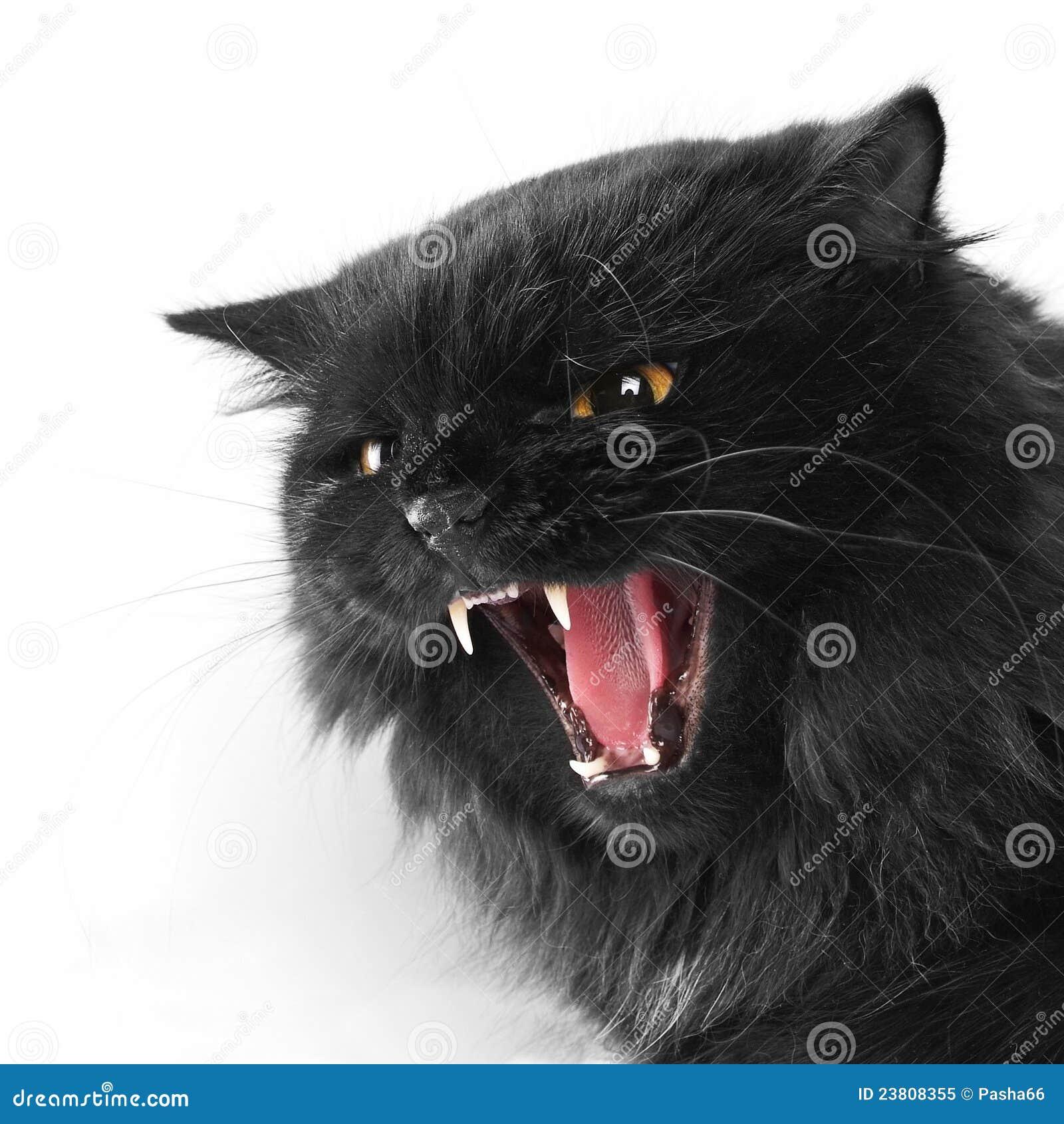 Angry Black Persian Cat Royalty Free Stock Photo - Image ...