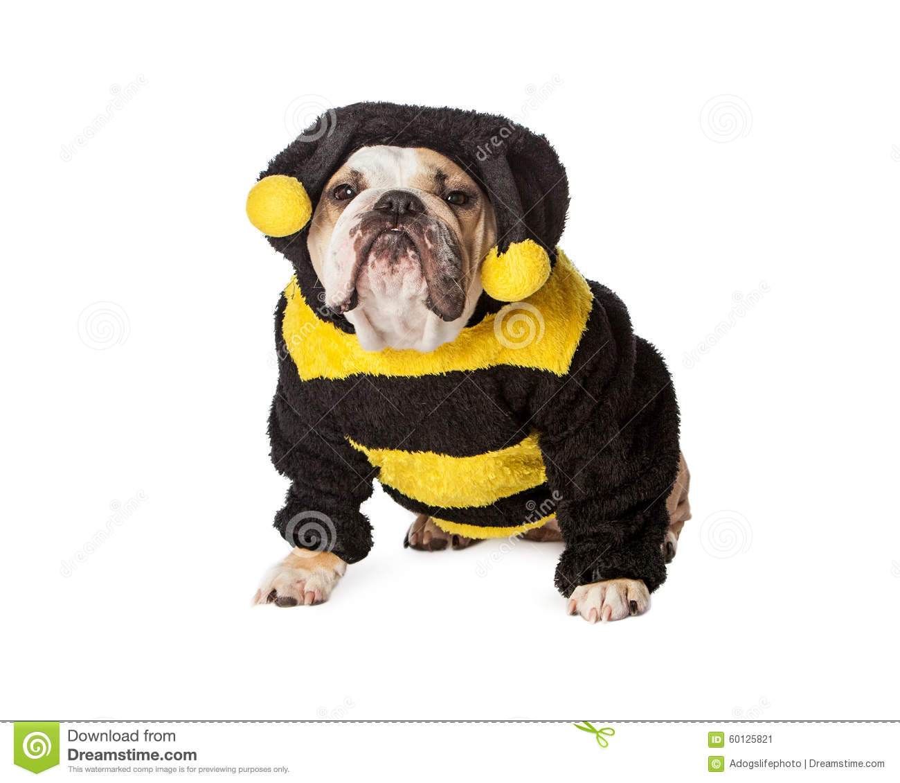 angry bulldog in bumble bee costume stock photo image 60125821