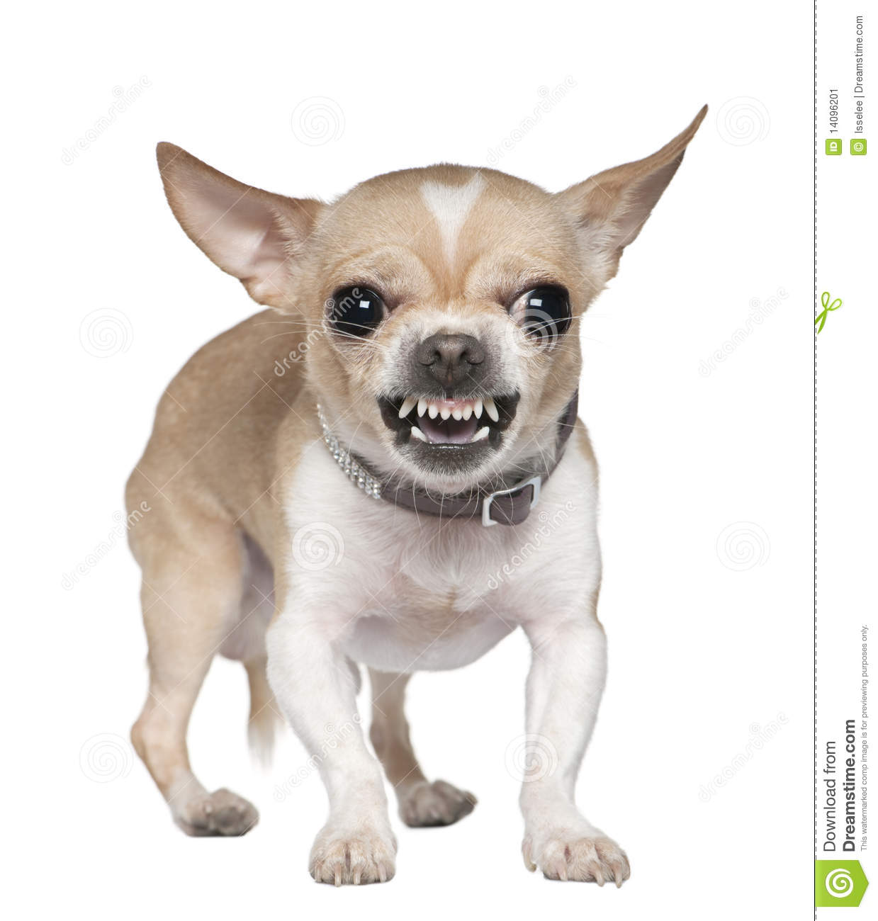 Angry Chihuahua growling, 2 years old, in front of white background.