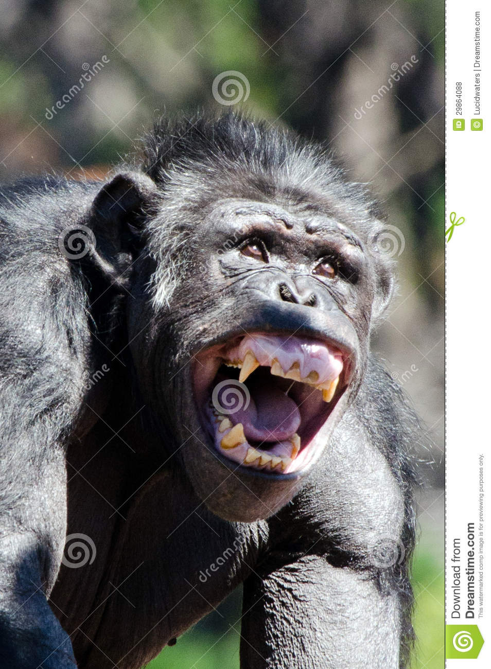 Chimpanzee stock photo  Image of scary, metal, energy - 29864088