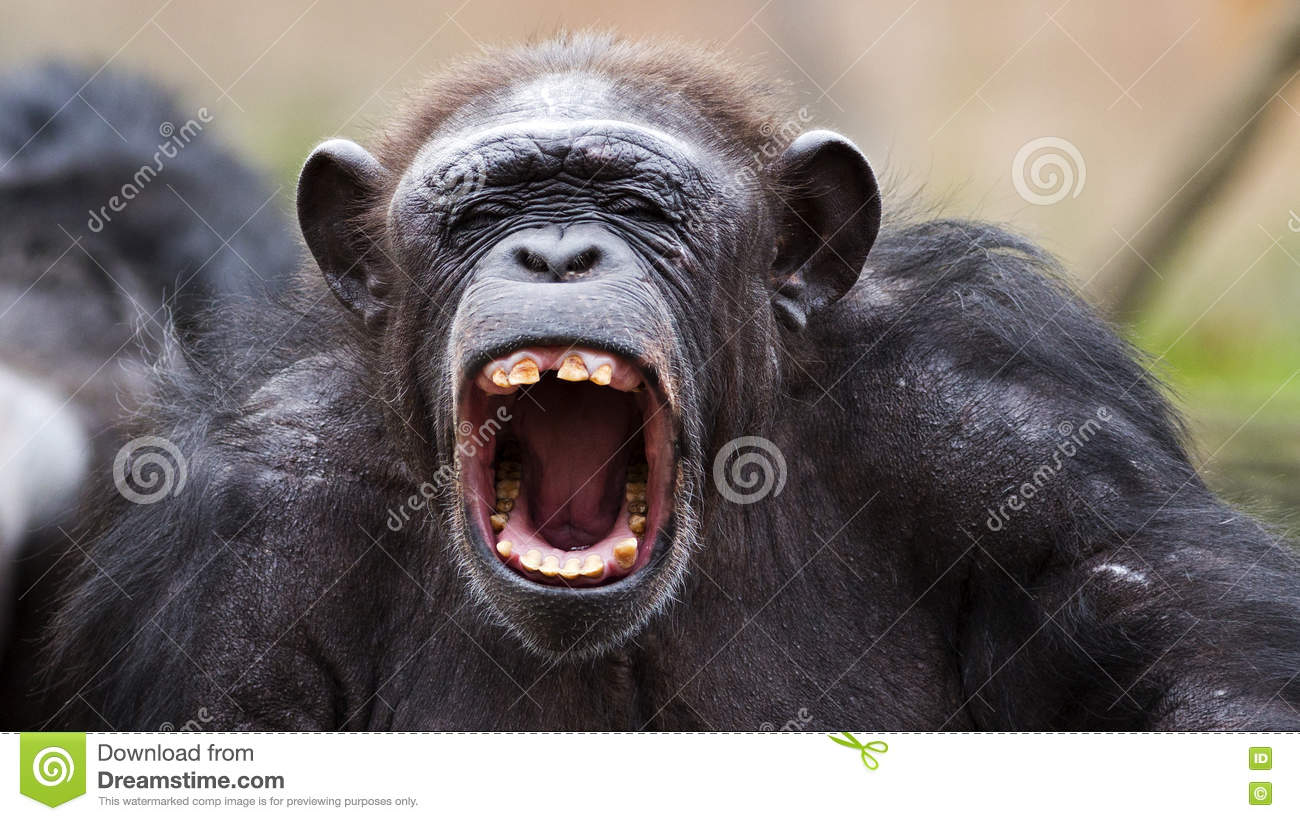 Image result for angry chimpanzee
