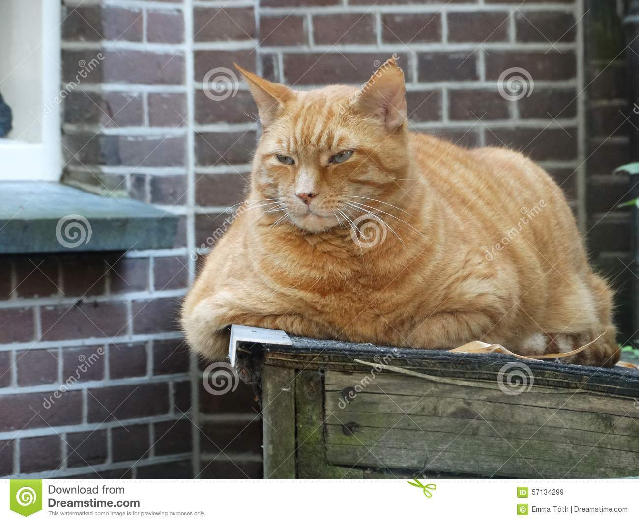 Funny Angry Fat Cat Stock Photo