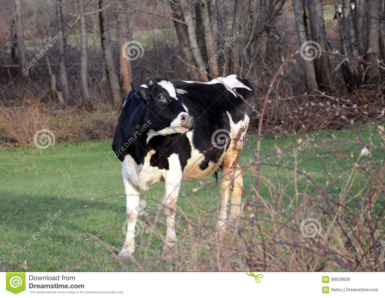 Angry Cow At Pasture Near Bitola,macedonia Stock Photo - Image of