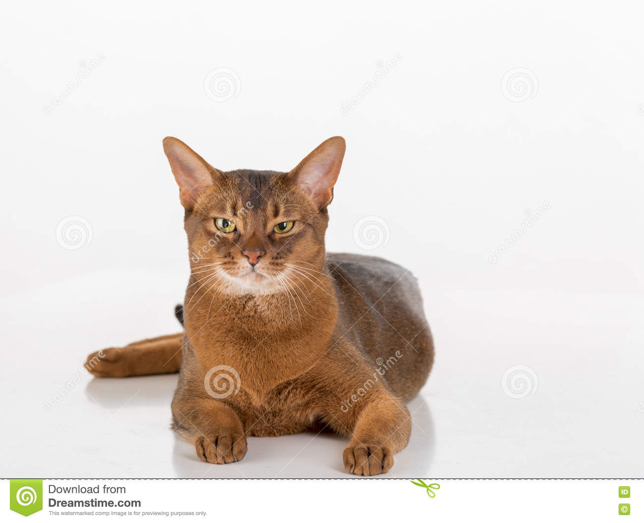 Abyssinian Cat Look Lions