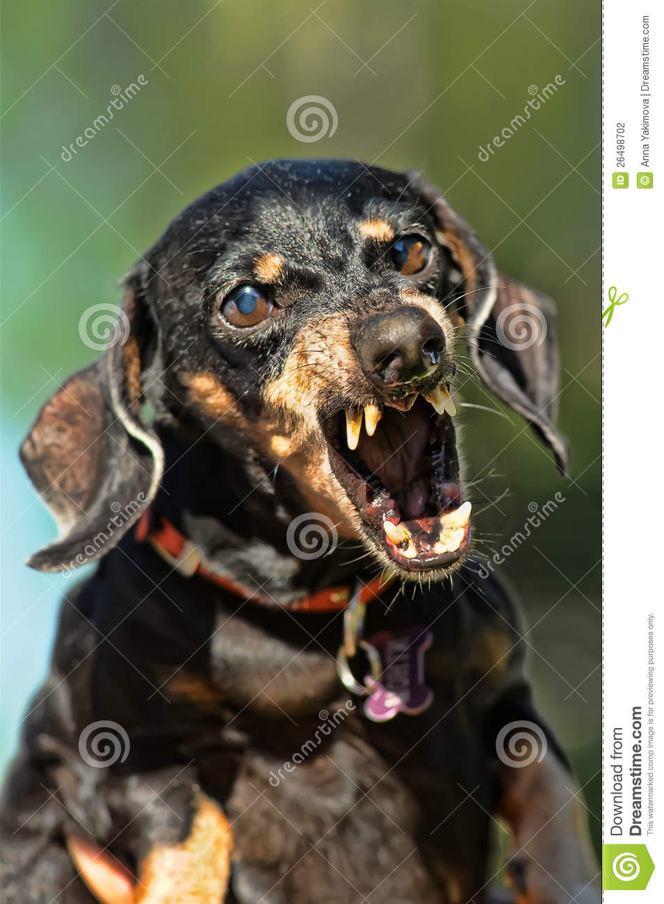 angry dachshund stock photography