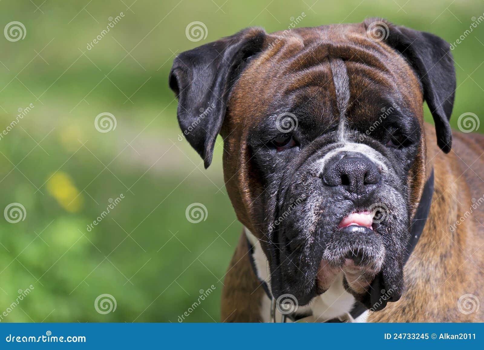 Angry boxer dog teeth - photo#3