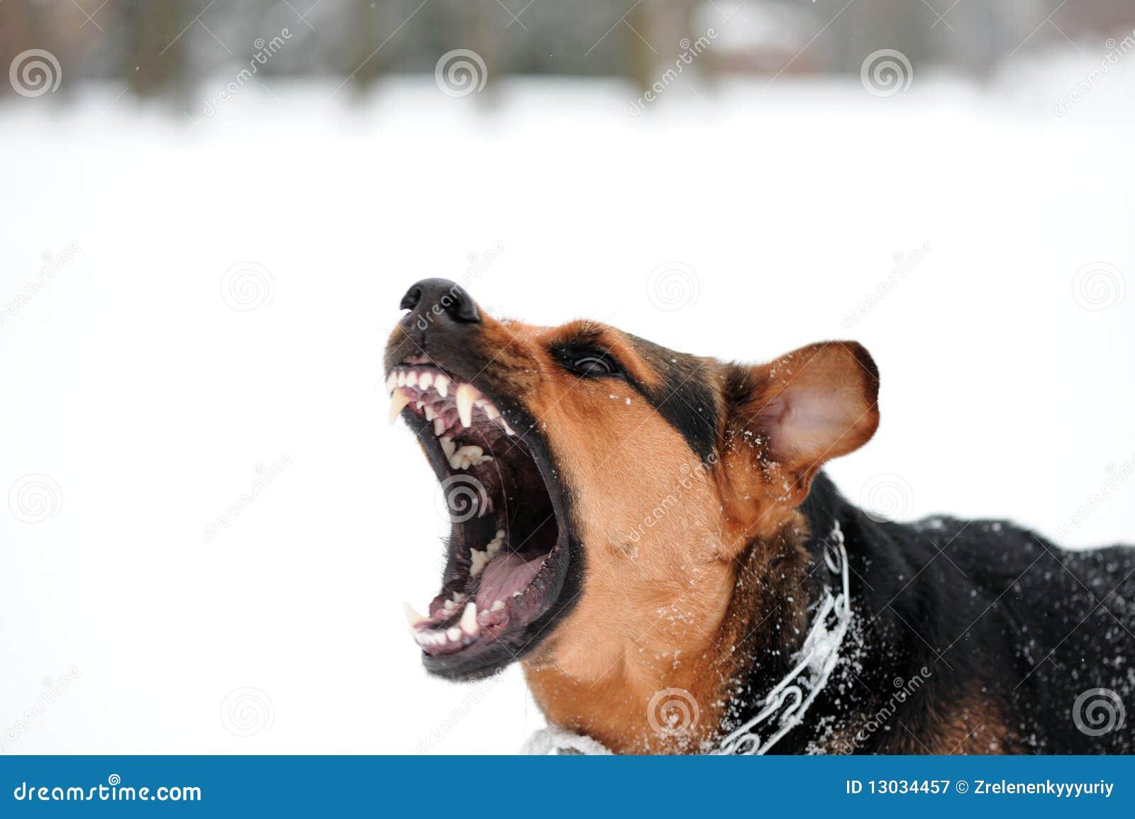 Angry boxer dog teeth - photo#8