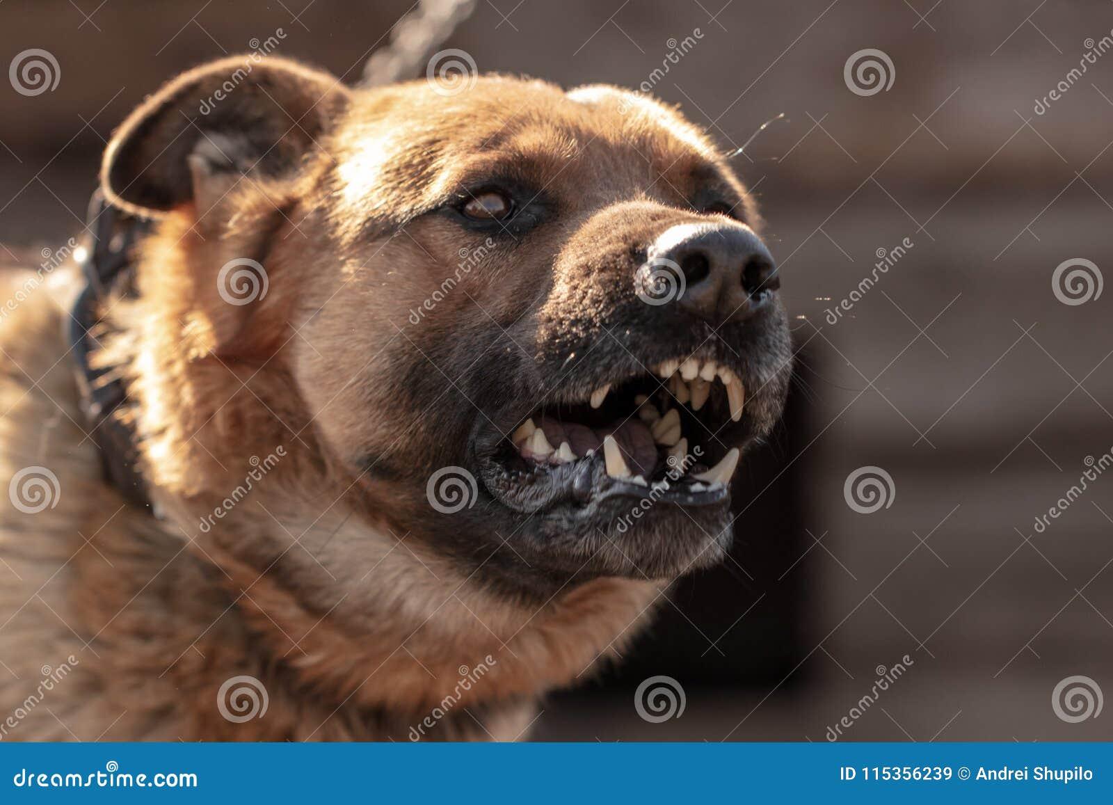 An angry dog barks near the house