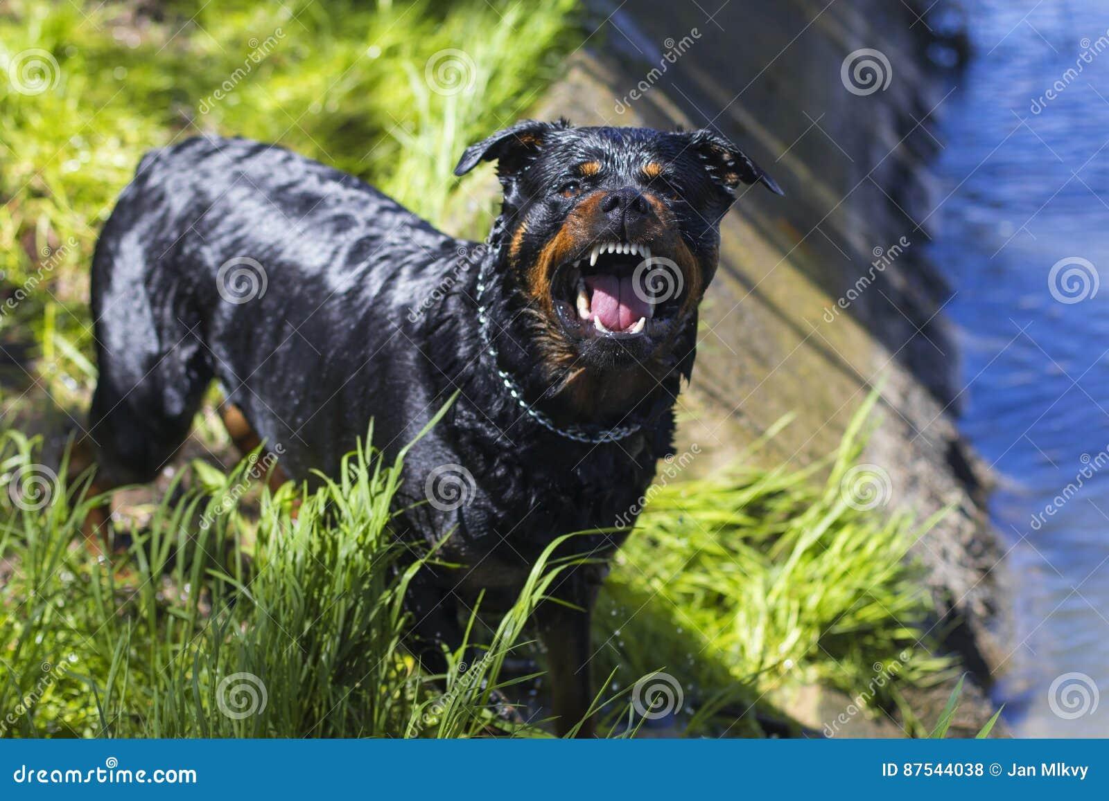 Rottweiler Barking And Baring Teeth Royalty Free Stock Photos Angry Dog