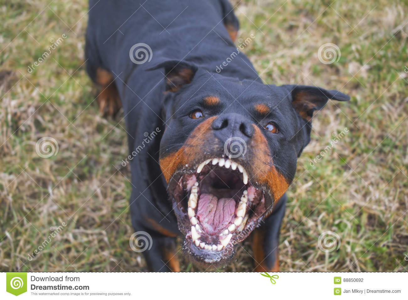 Rottweiler Barking Mad Angry And Dangerous Stock Photography