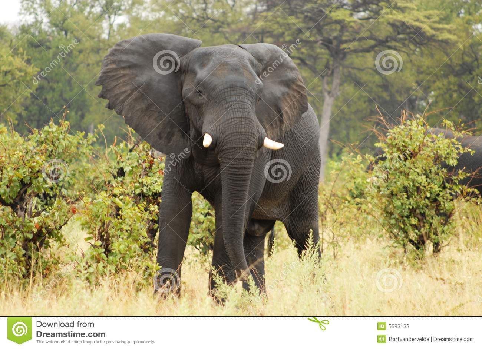 Angry Elephant Stock Photos Image 5693133