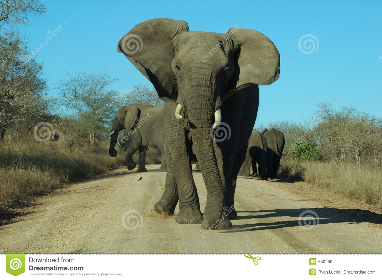 angry elephant stock photo image 650280