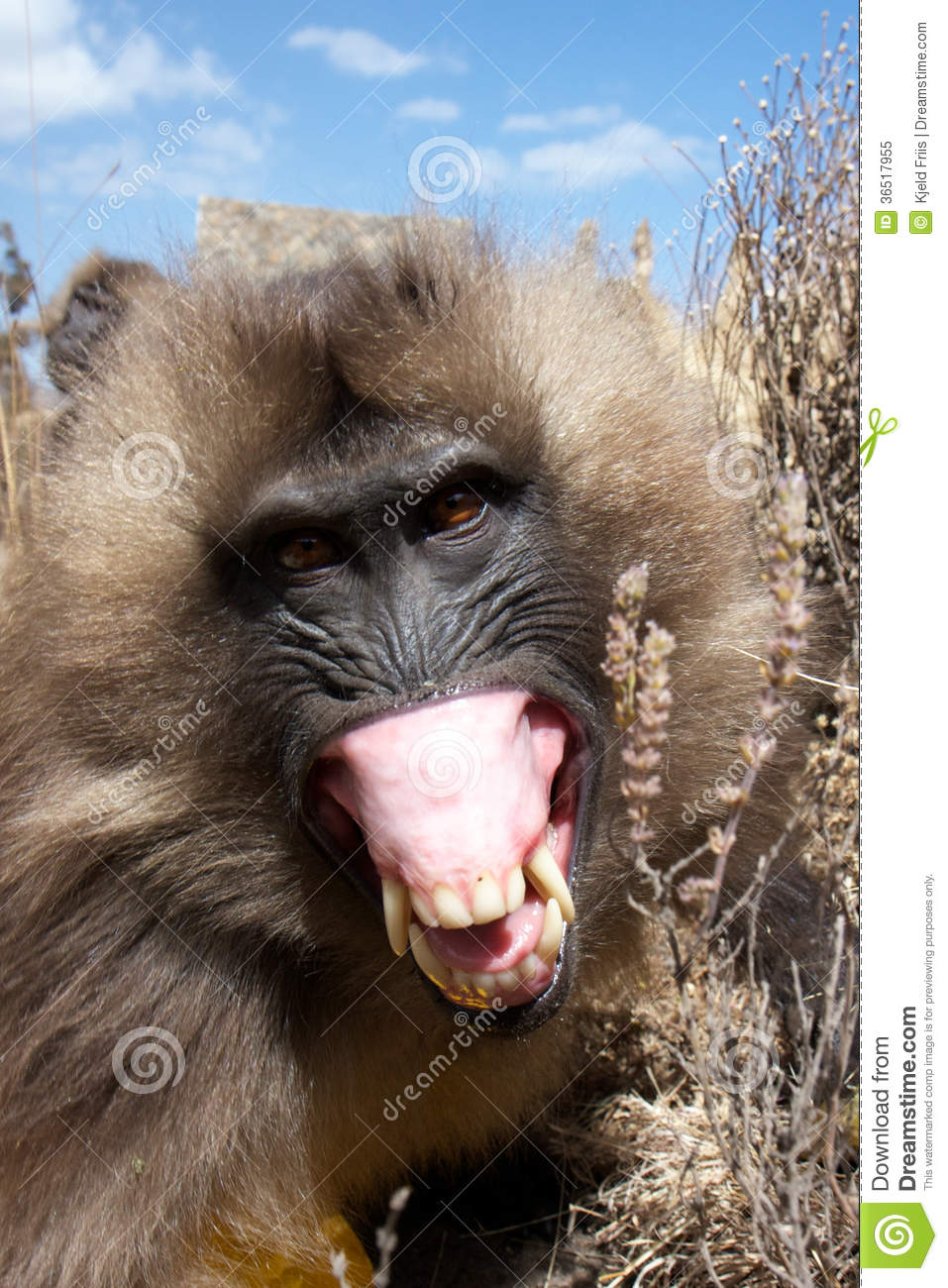 Angry baboon face