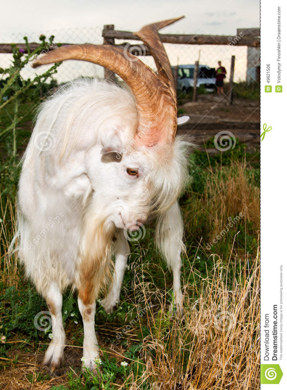 The Angry He-goat. Stock Photo - Image: 49621506
