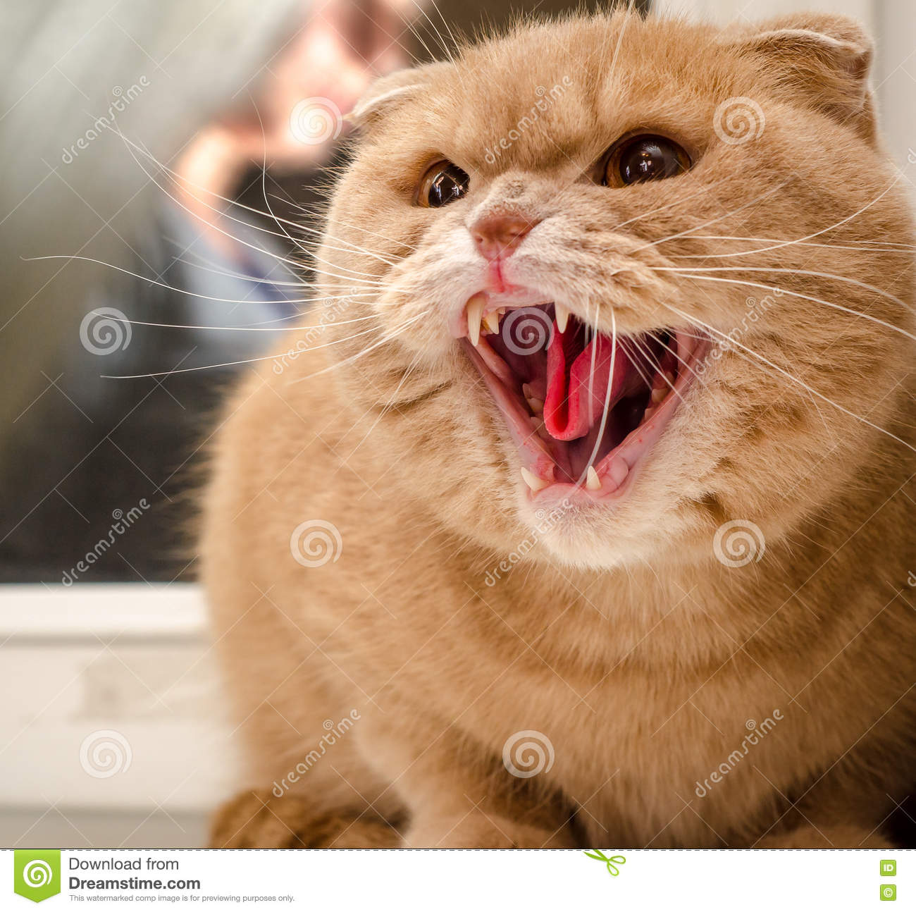 Angry Golden Cat  British Shorthair Cat Stock Photo - Image of
