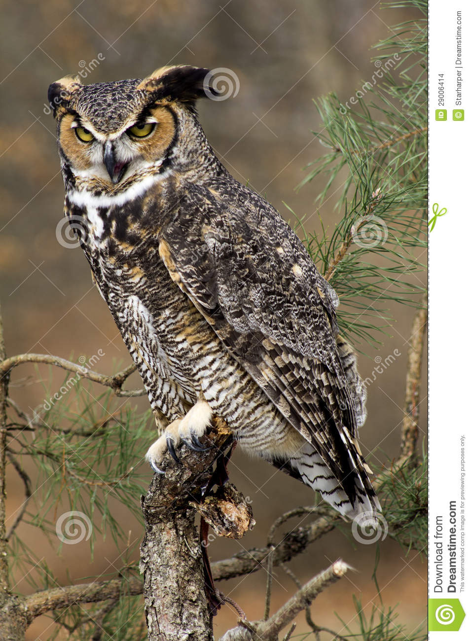 You need to enable Javascript Great Horned Owl Illustration