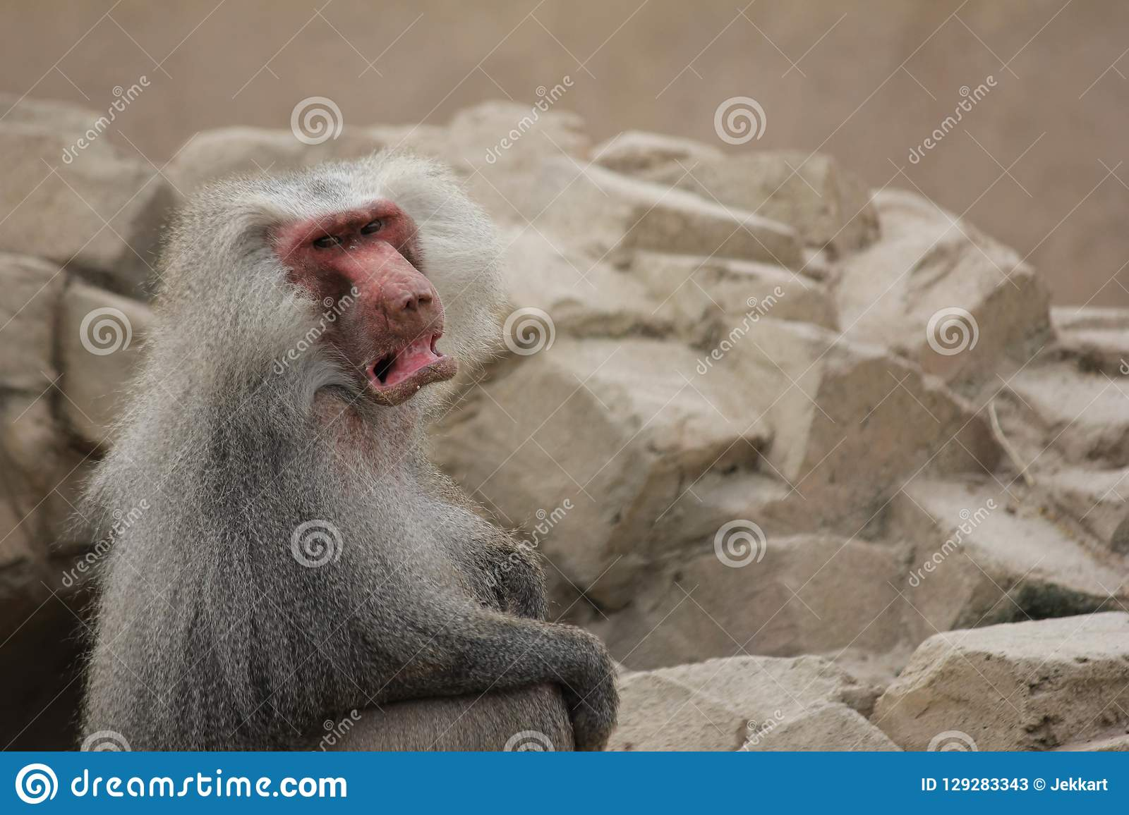 Angry, grumpy Mantle Baboon ape with a lot of empty background