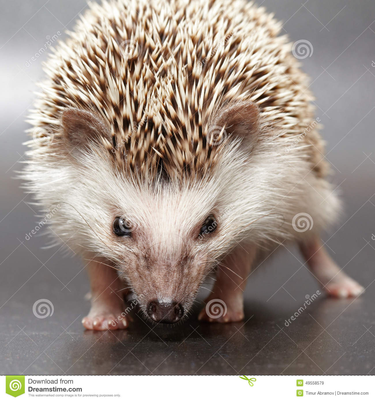 angry hedgehog stock image image of bristle dust small