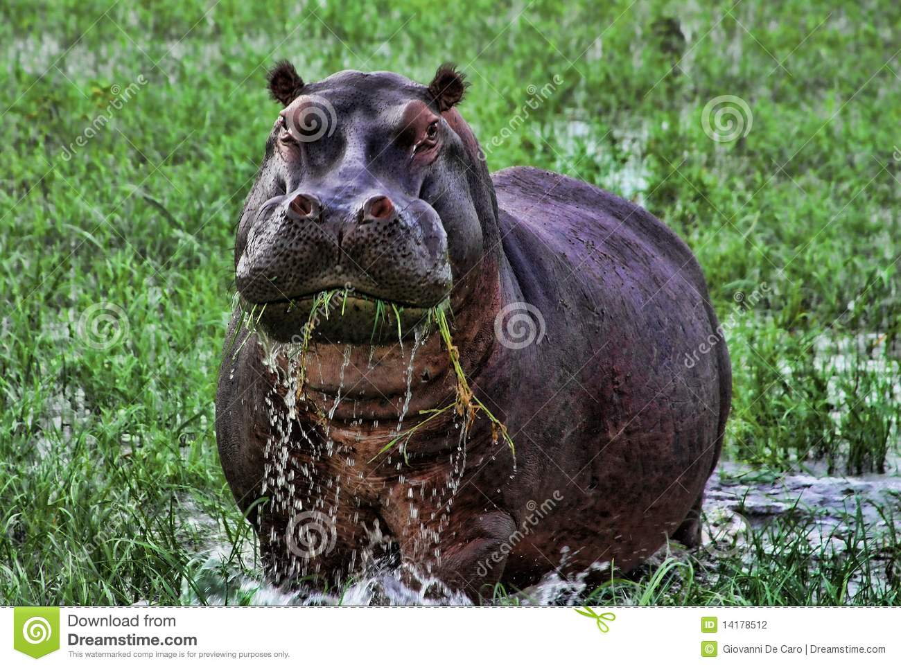 An annoyed hippopotamus eating grass in the Delta of Okavango ...